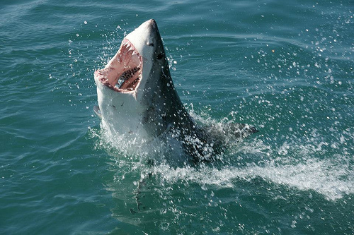great white shark mossel bay