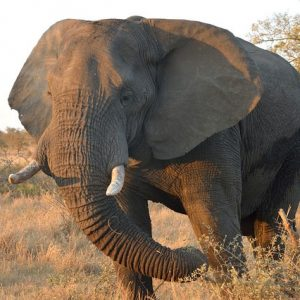 kruger-safari-elephant