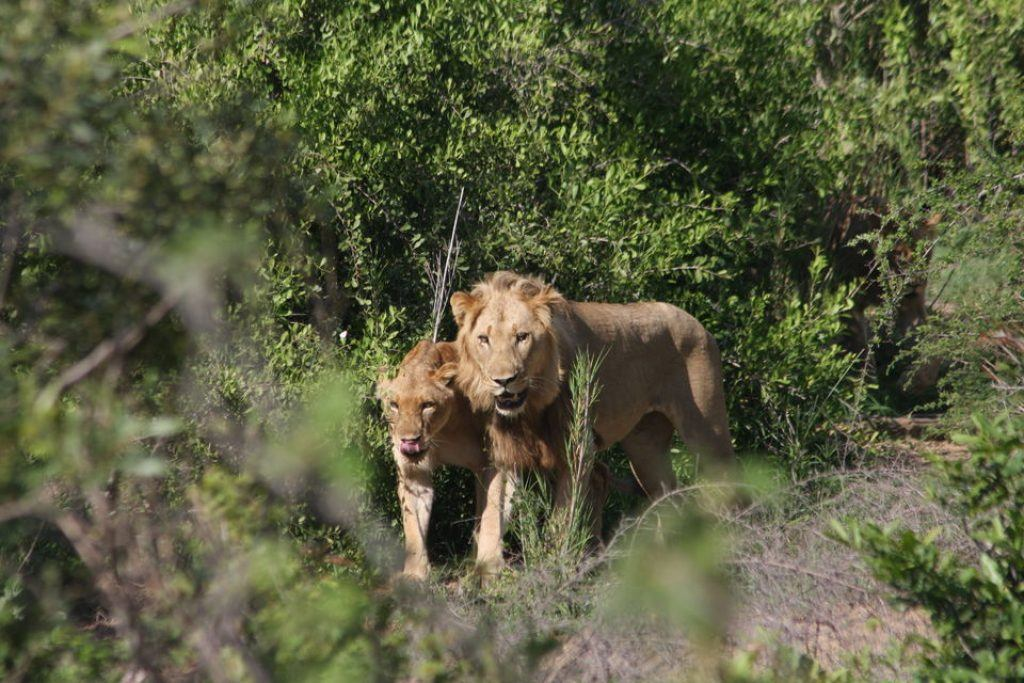 kruger-national-park-lion
