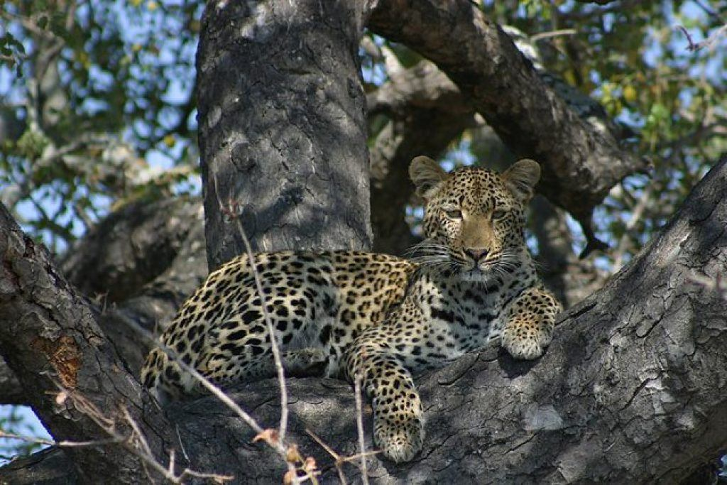 kruger-national-park-leapard-in-tree