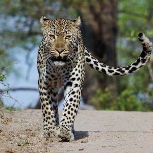 night-leapard-drive-kruger