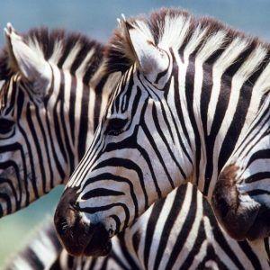 kruger-park-game-drive-zebras