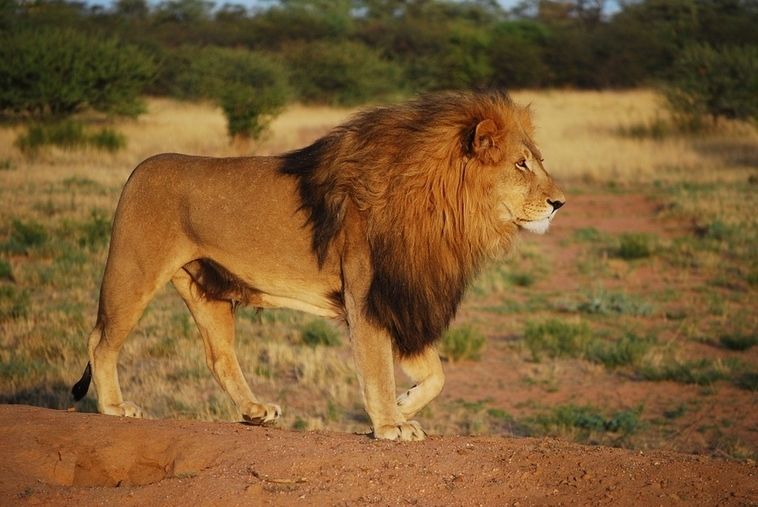 Kruger-Park-Lion