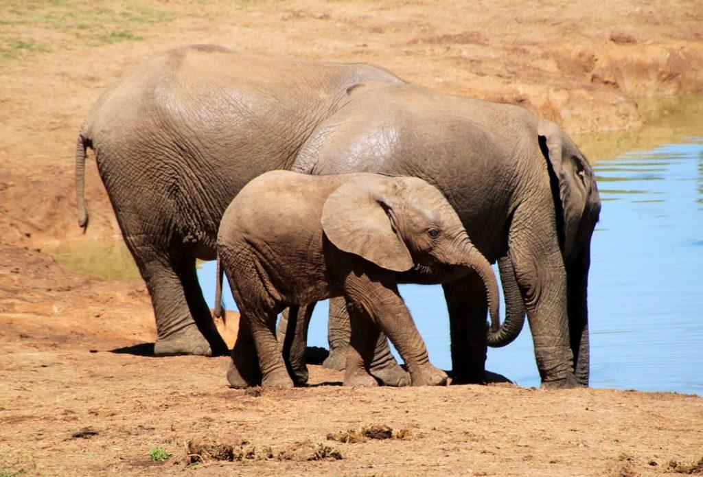 elephants-at-addo