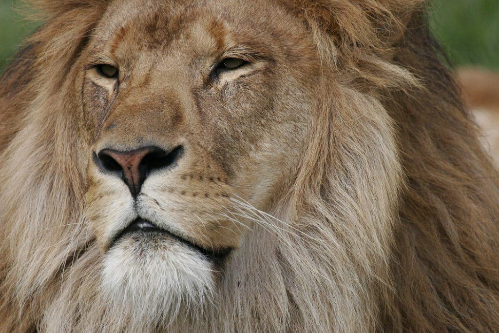 big-five-lion