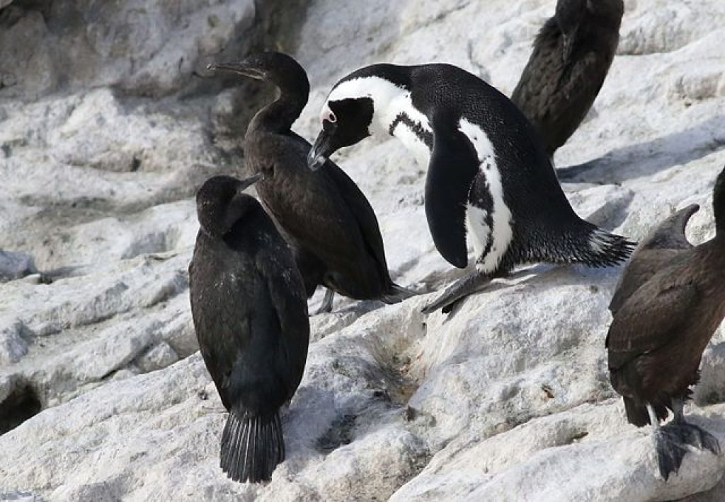 stony-point-african-penguins