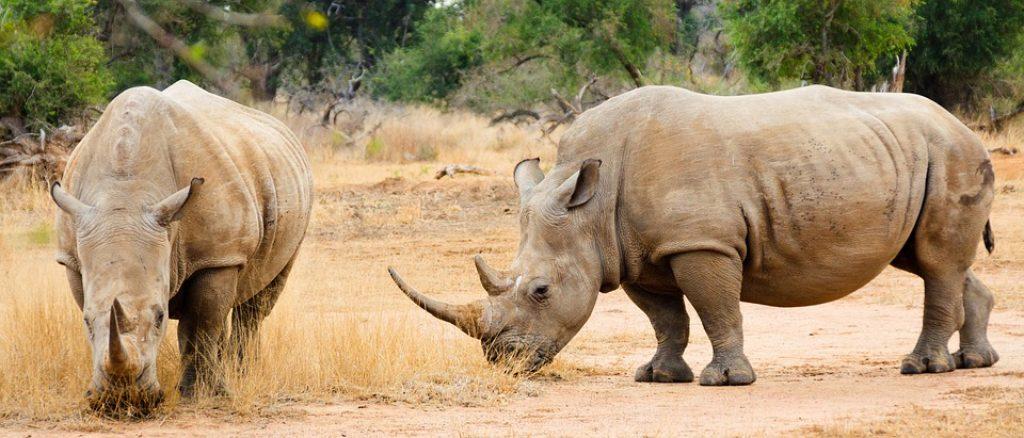 big-five-rhino