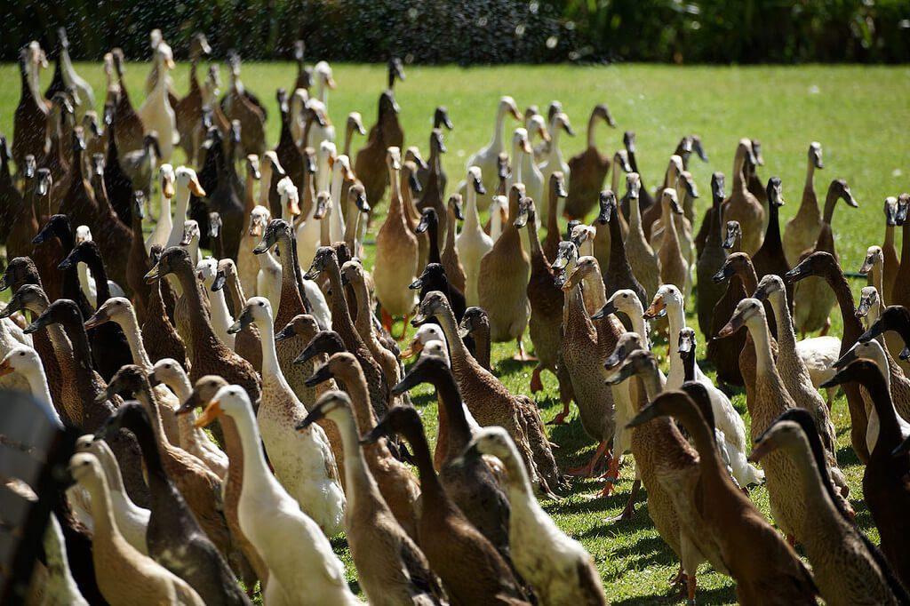 vergenoegd-runner-ducks