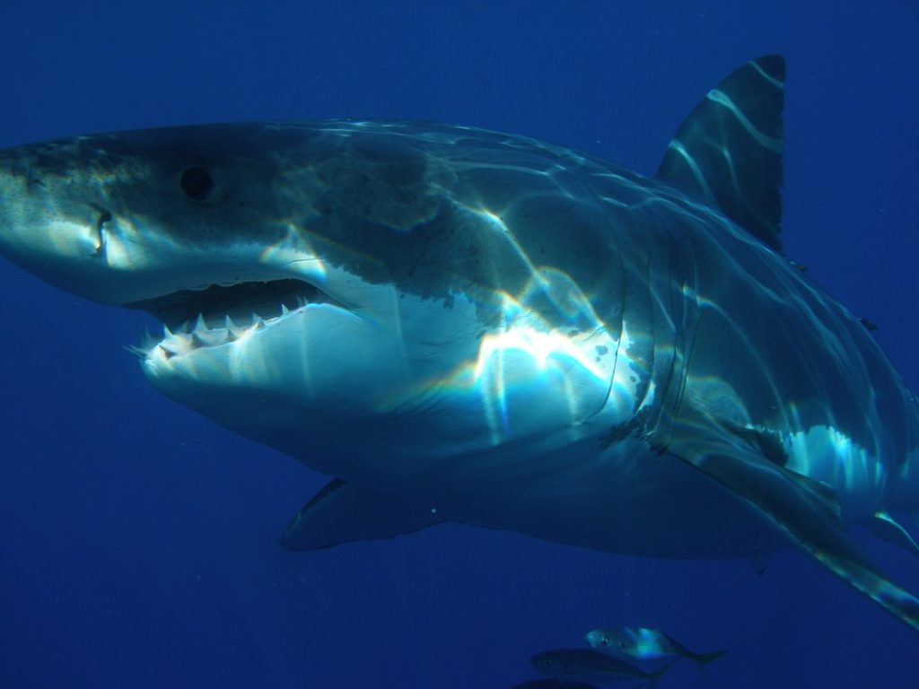 gansbaai-great-white-shark