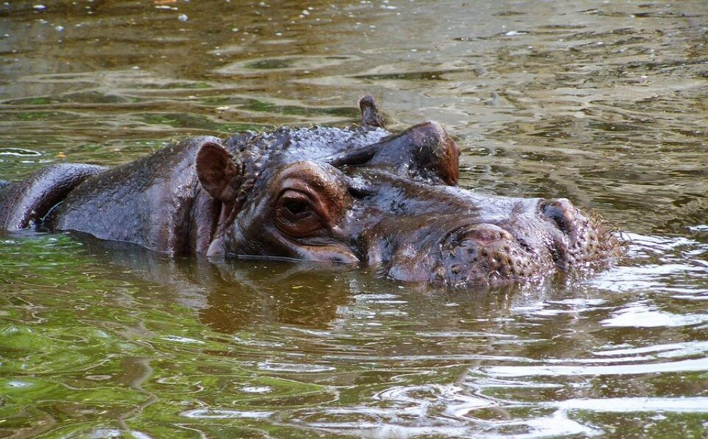 hippo-st-lucia