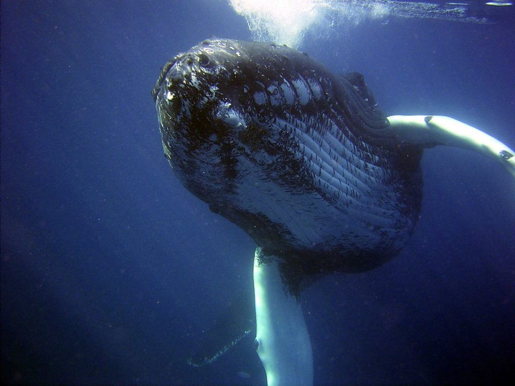 humpback-whale-underwater