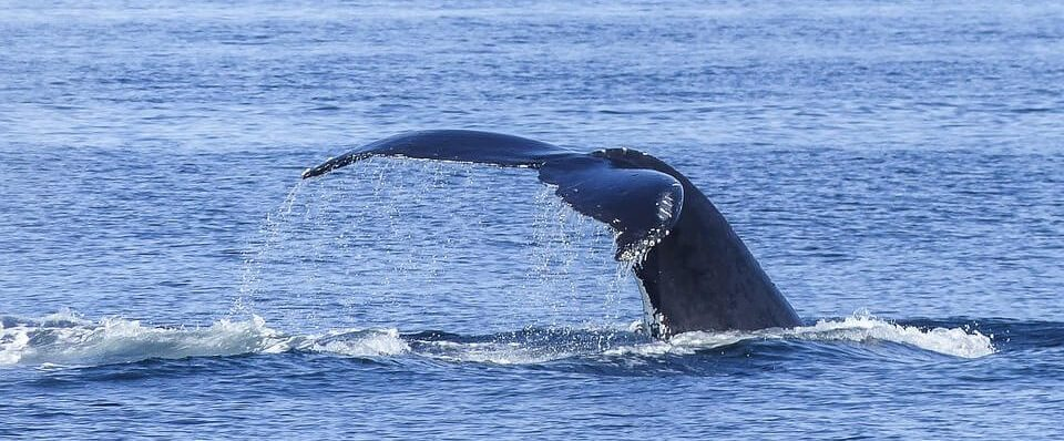 humpback-whale-tail-above-water