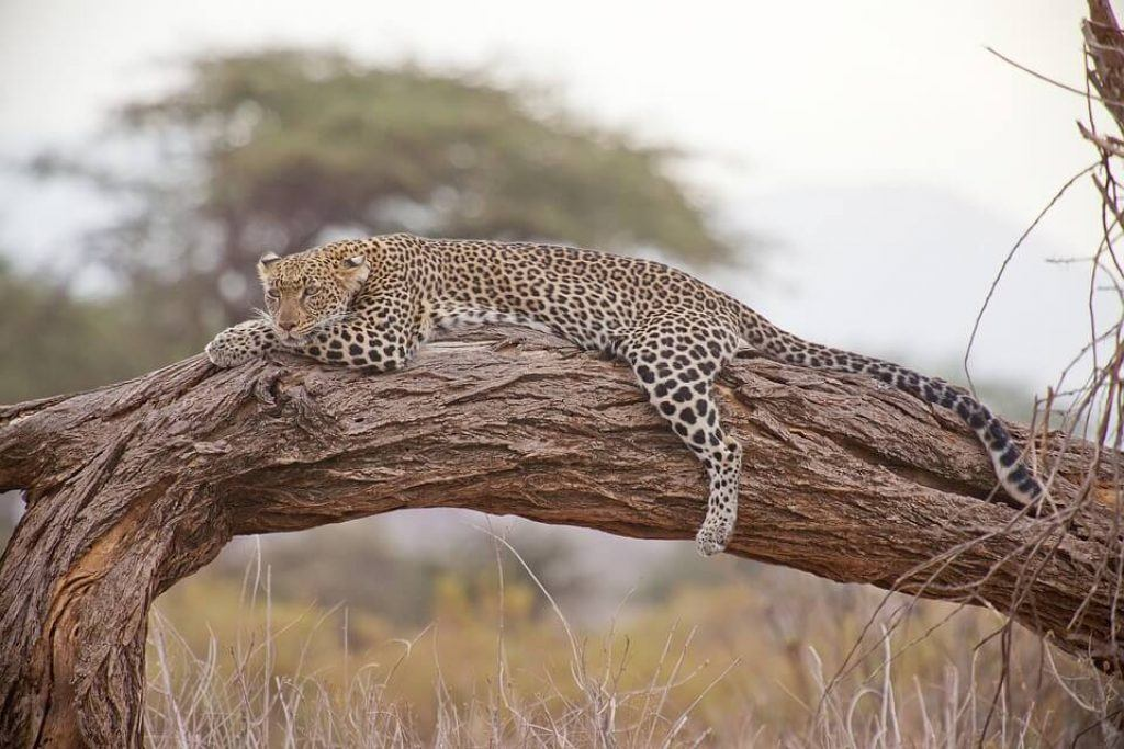 resting-leopard