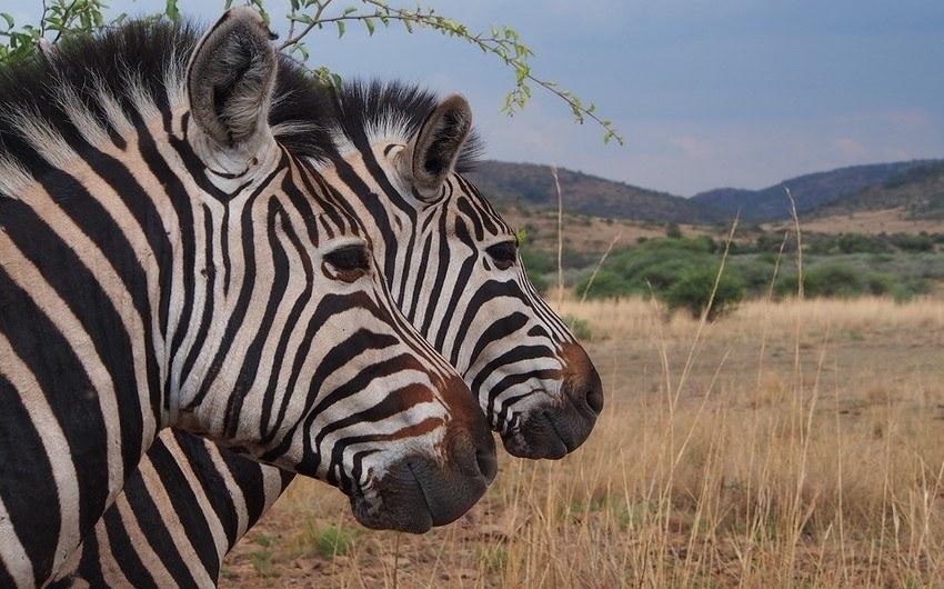 Zebra in Pilanesberg Reserve