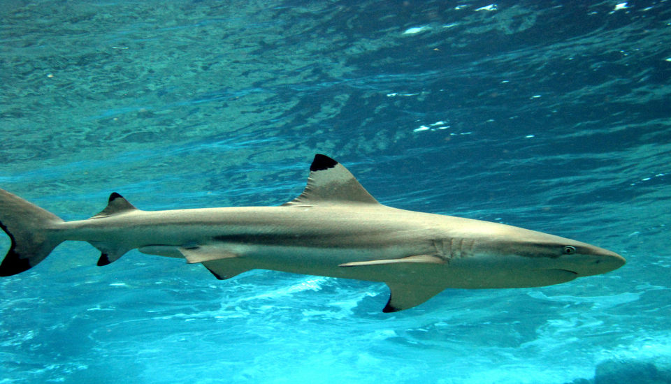 Blacktip shark swimming