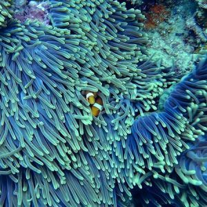 Clown fish on reef