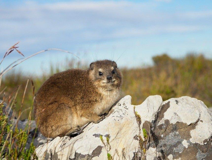Dassie on a rock