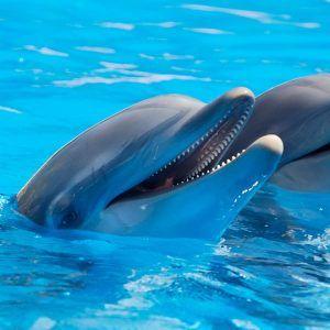 Pair of dolphns