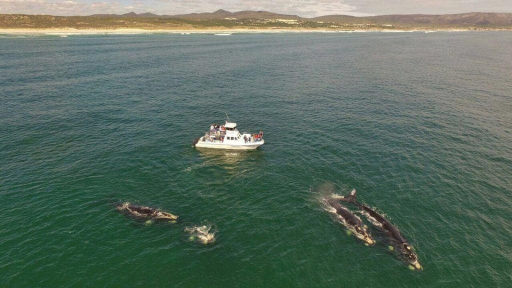 whales swim next to boat