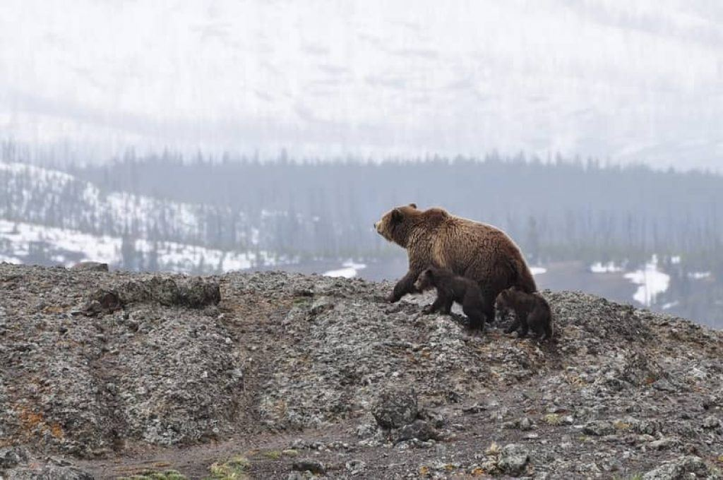 mother and baby bear in alaskan mountains