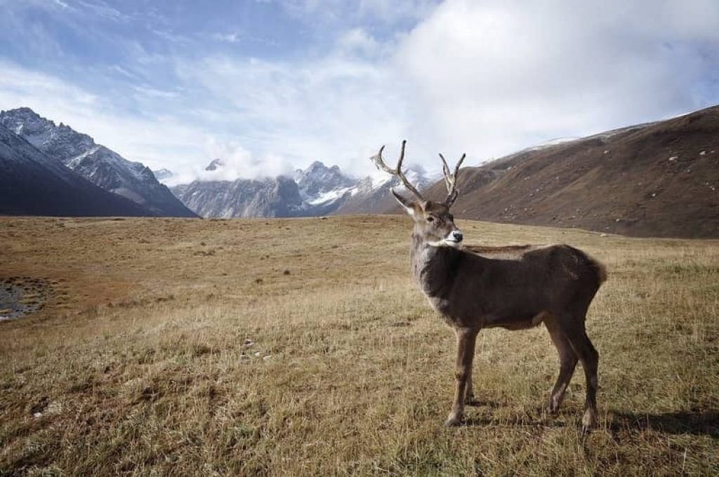 caribou in snowy mountains