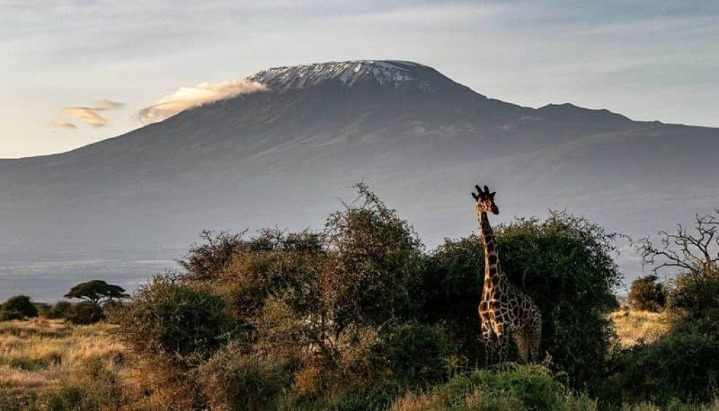 giraffe against mount Kilimanjaro