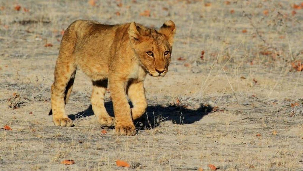 baby lion cub