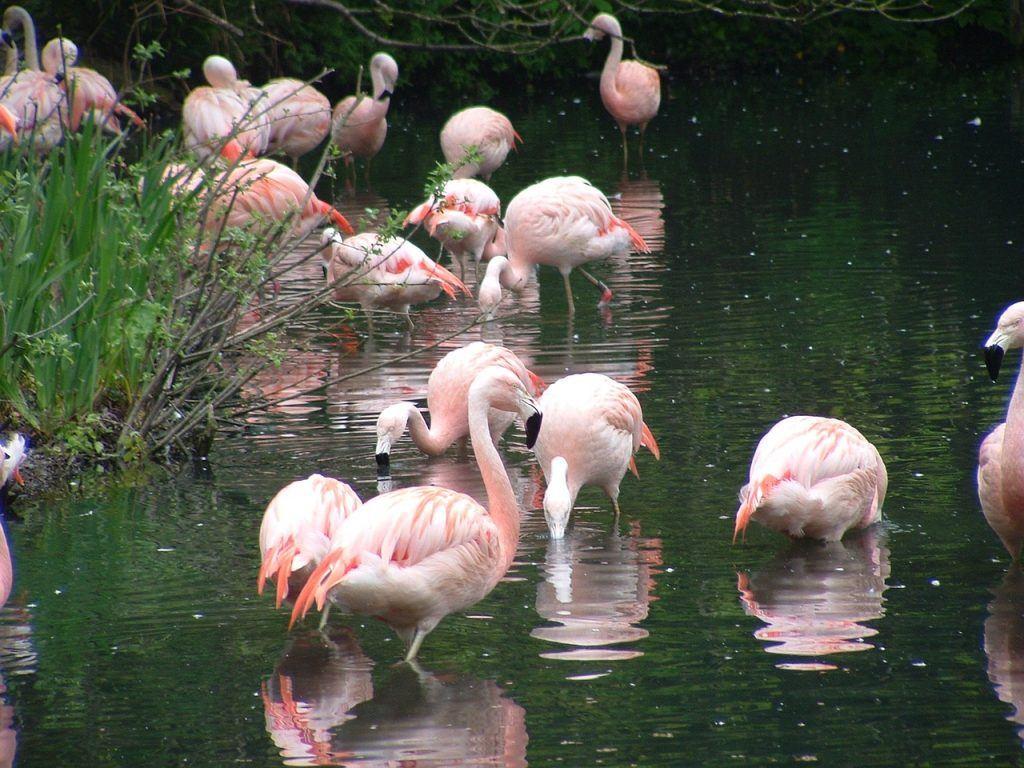 flamingos-zoo