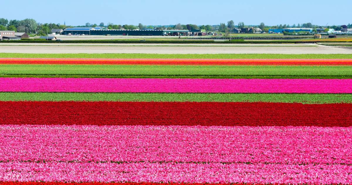 Half Day Tour to Keukenhof Flower Fields with Live Guide from Amsterdam