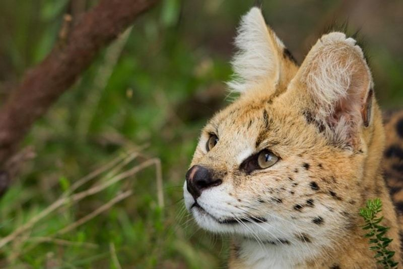Tenikwa's African wild cats in natural setting