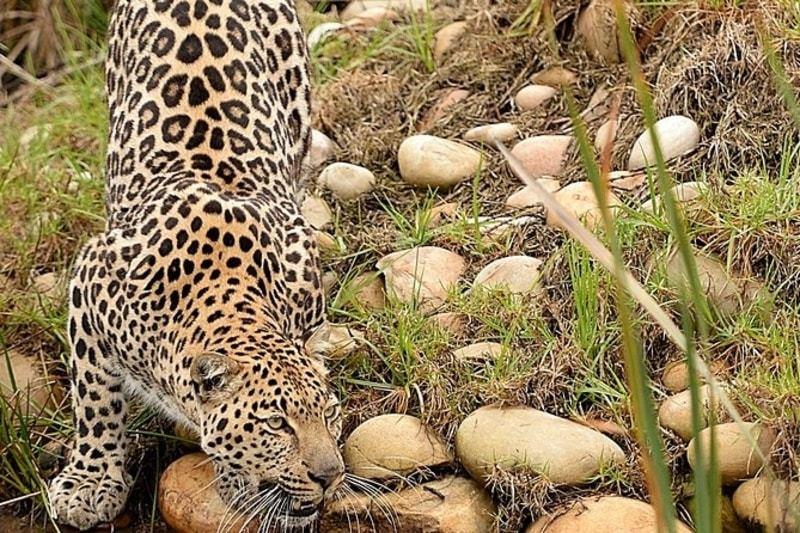 leopard crouching on rocks