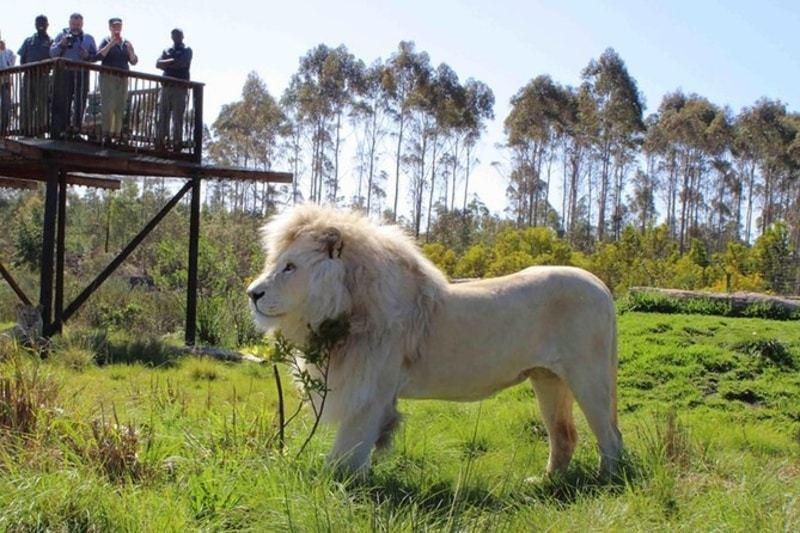 lion at Tenikwa centre
