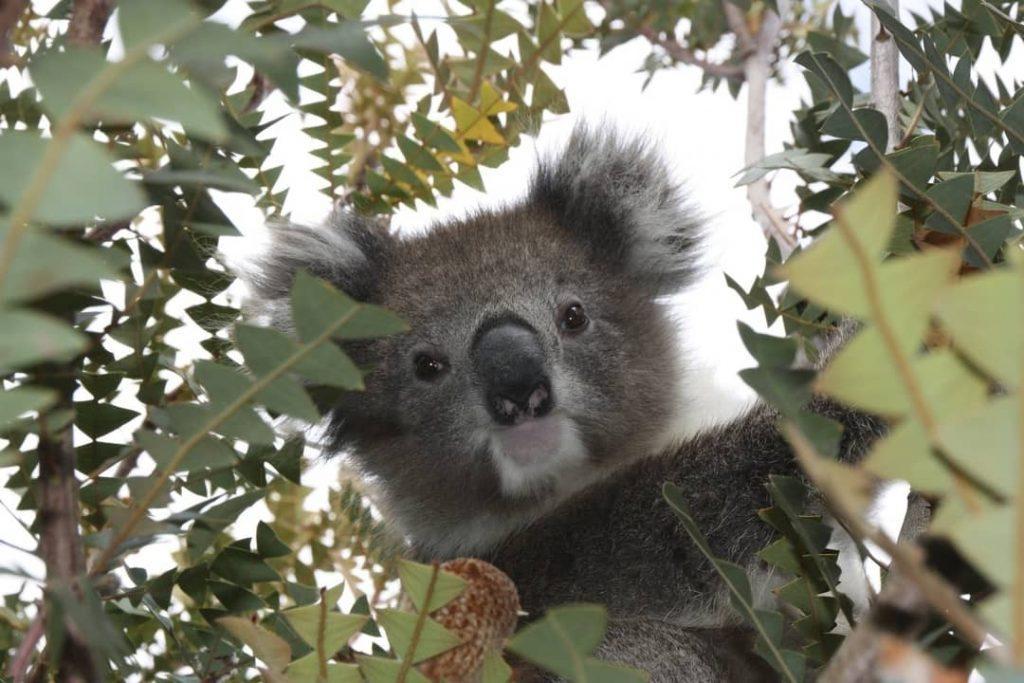 Young koala bear at Healesville