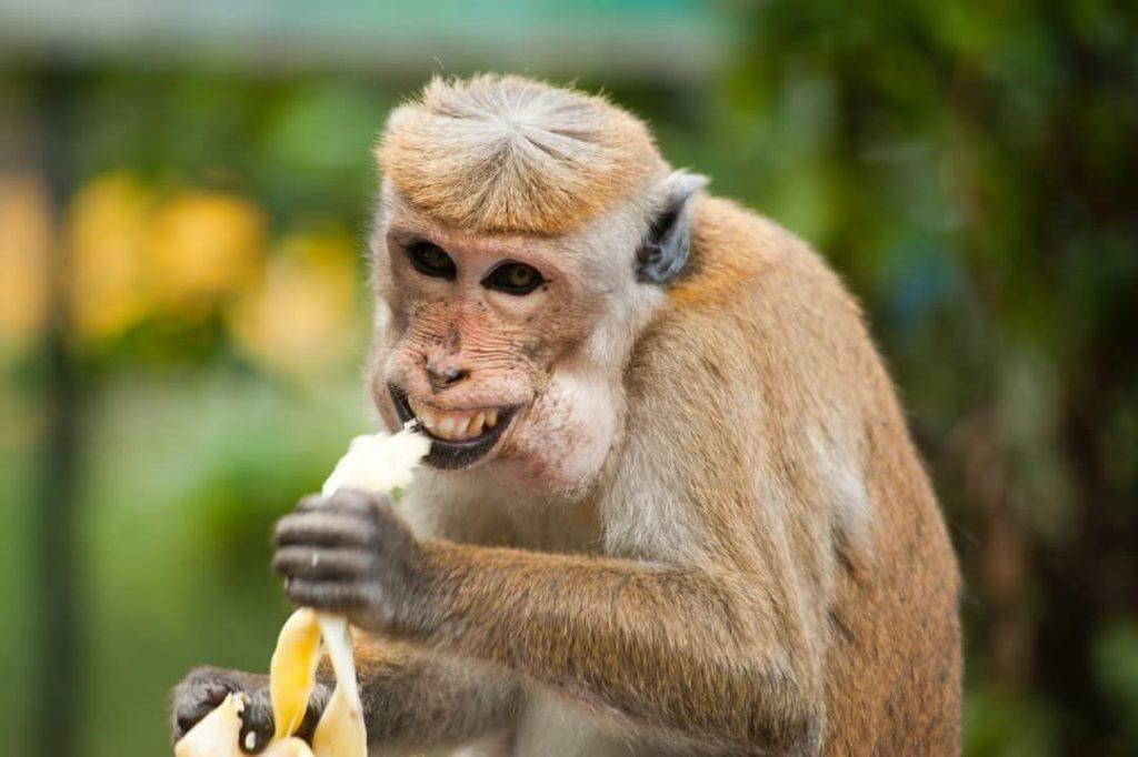 One of cheeky occupants of Taronga Zoo