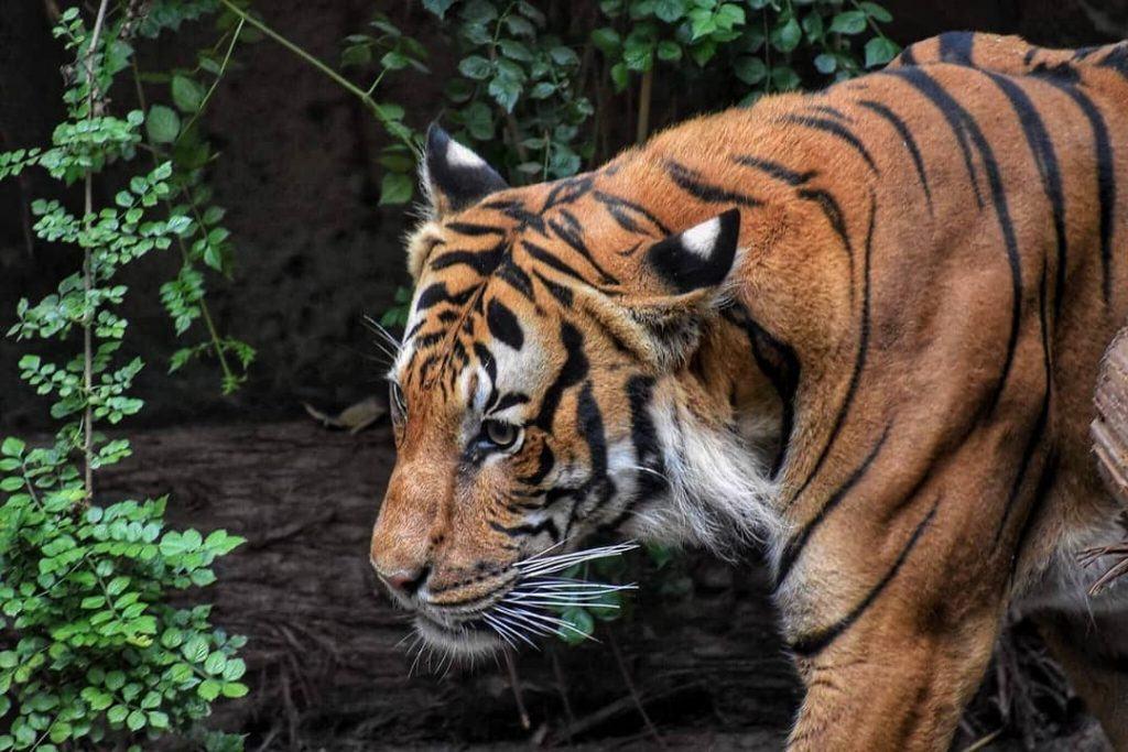 Bengal Tiger found at the Tiger's Trek