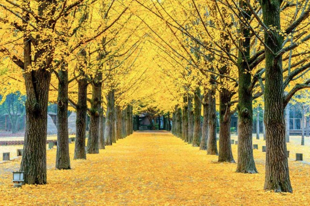 autumn trees in Nami Island