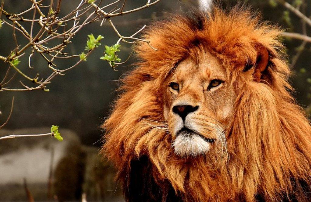 Lion Big Five