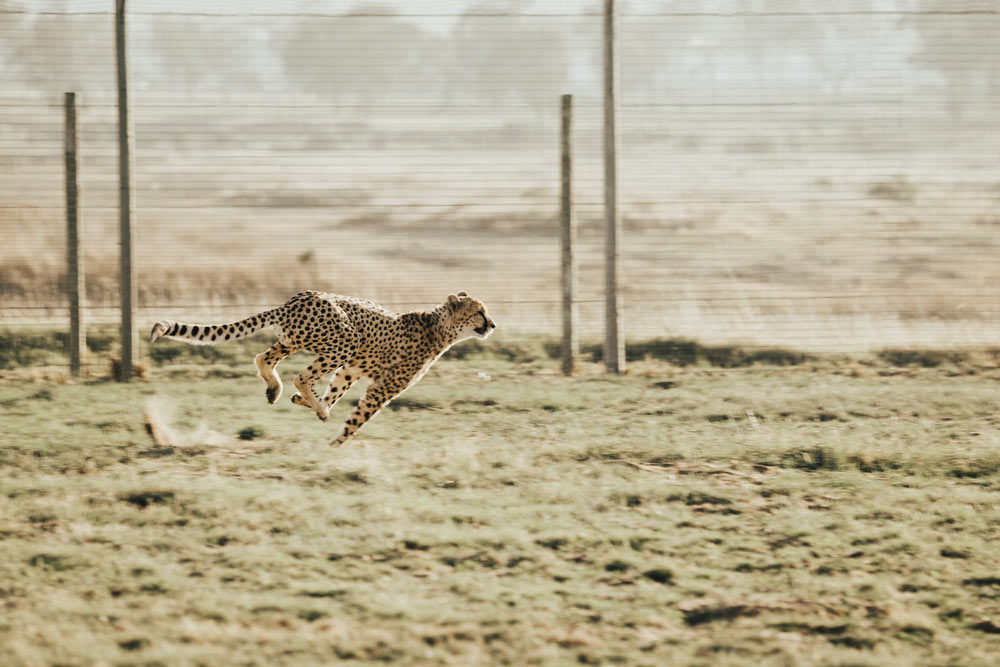 Cheetah running at a urban sanctuary.
