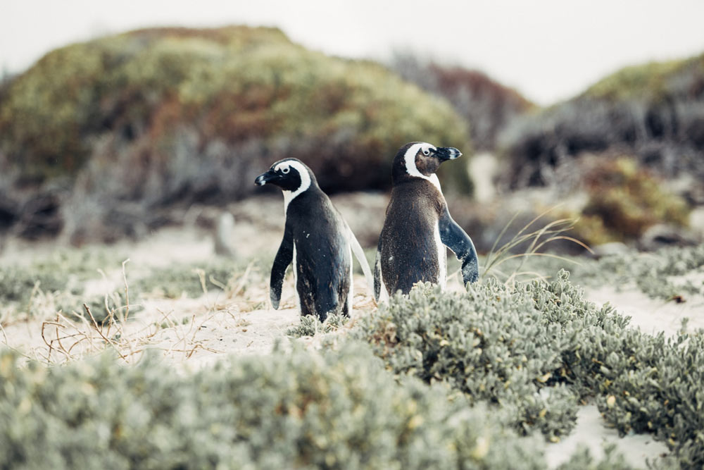 Two penguins at Boulders Beach Colony in Simons Town.