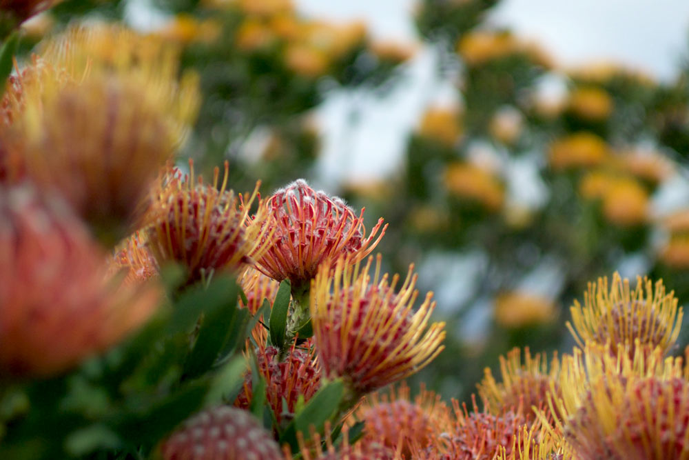 Protea pincushion red flower on Table Mountain