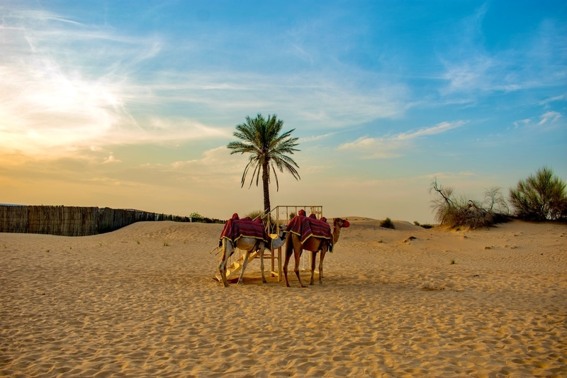 Two camels in Dubai desert
