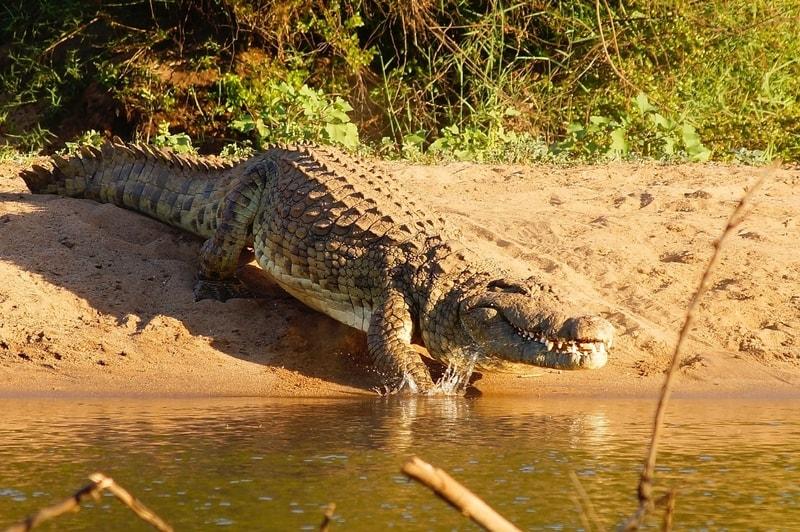 Crocodile at river in Kruger National Park