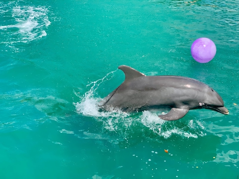 dolphin and a pink ball in Miami, Seaquarium