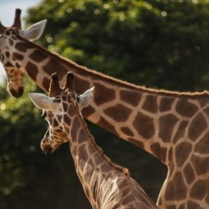 two giraffes in nature