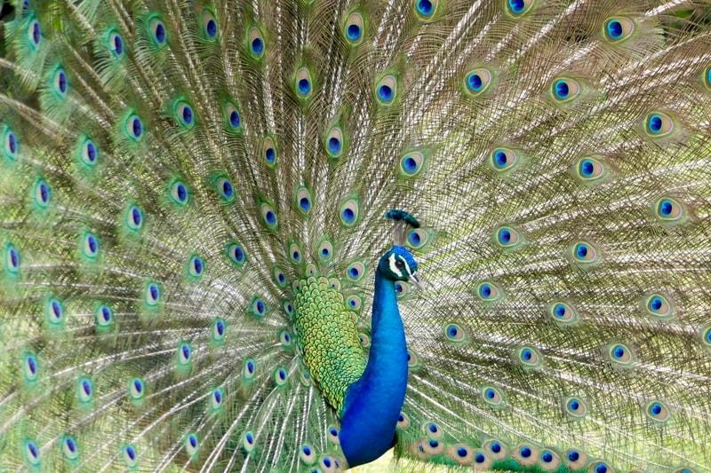 Peacock in Miami zoo