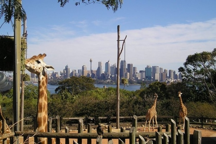 Giraffes in a zoo enclosure