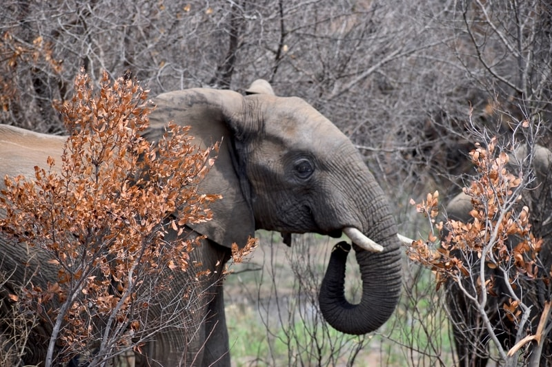 Young African elephant in South Africa