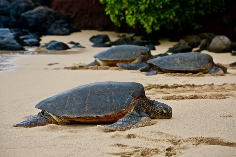 Turtles on a beach in Maui