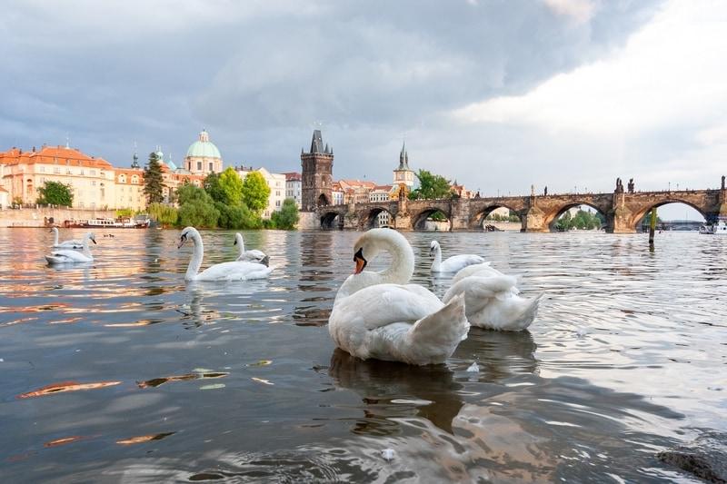 swans-on-vltava-river-in-prague