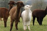 Alpaca World & Nami Island & Garden of Morning Calm...